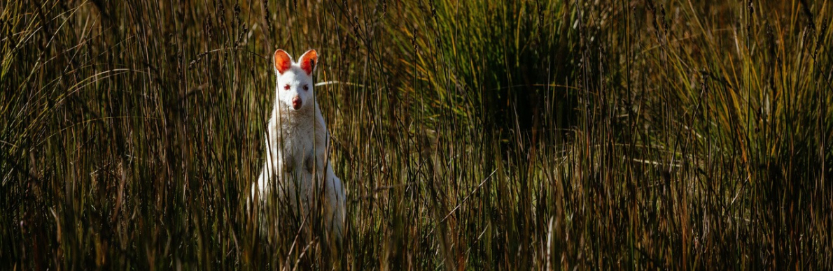 gallery/bruny island - white wallaby cropped